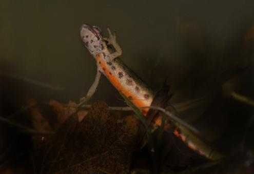 Risco de desaparecimento do tritão-de-ventre-laranja