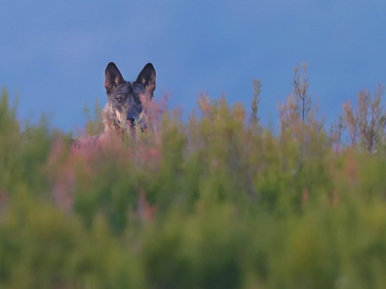 Novo Censo Nacional de Lobo-ibérico: Palombar fica responsável pelas ações no Nordeste