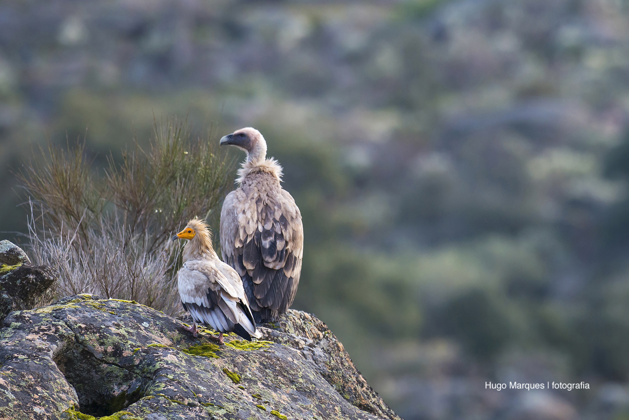 Mitos e verdades sobre os abutres