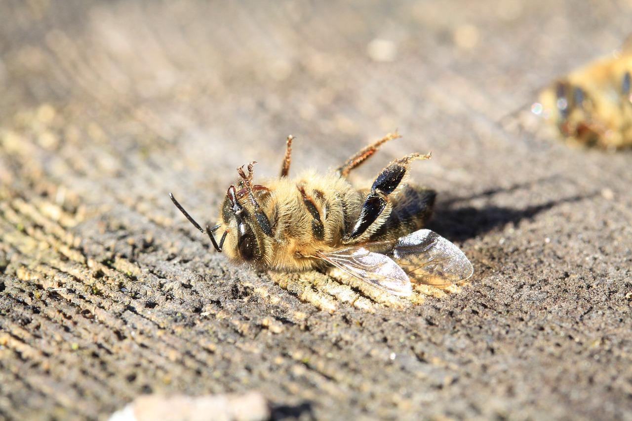 Eucaliptais afetam abelhas e produção de mel no Caramulo