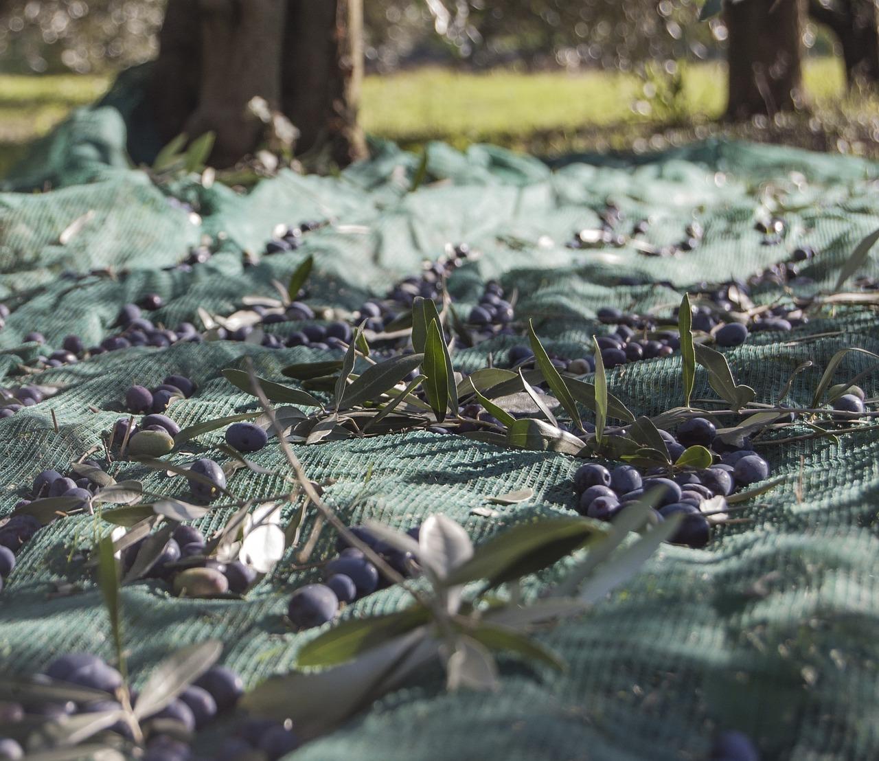 """Olivicultura em Trás-os-Montes enfrenta """"campanha difícil"""""""