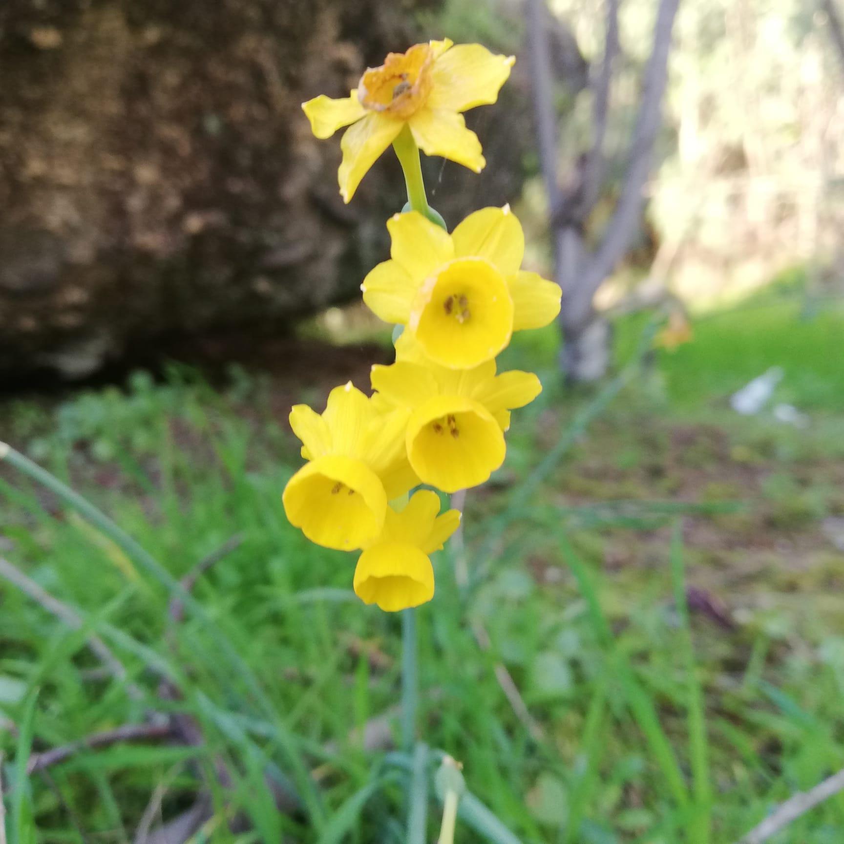 O Narciso do Mondego já floresce