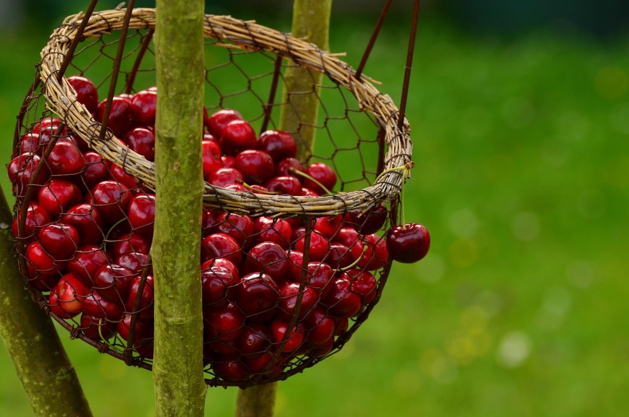 UTAD: Investigadora descobre tratamento para reduzir rachamento da cereja