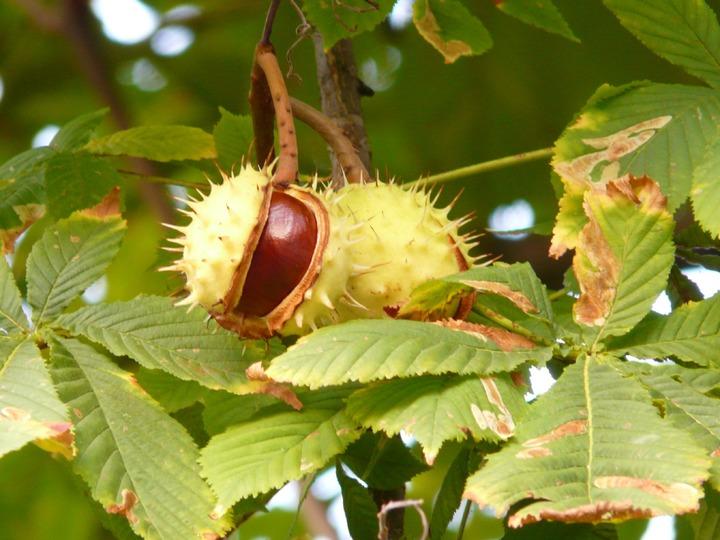 Trás-os-Montes:  Combate à vespa das galhas do castanheiro com largadas do inseto 'Torymus sinensis'