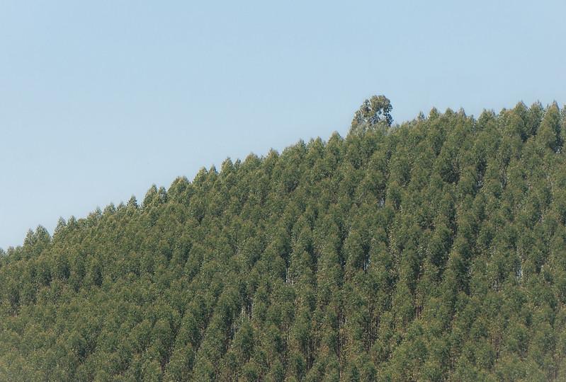 Grupo Amorim fica com um terço do apoio público à substituição do eucalipto