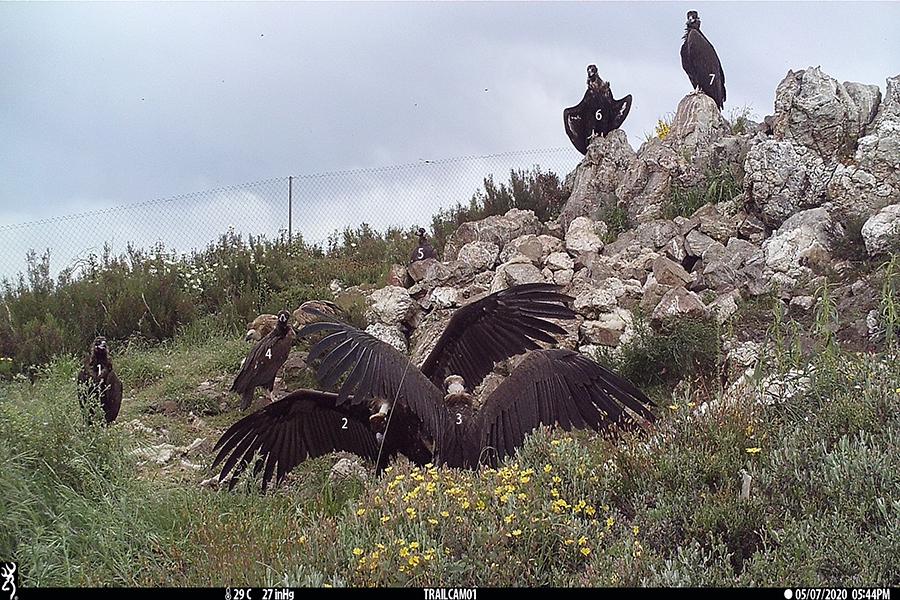 Abutres-pretos. Fotografia Palombar.