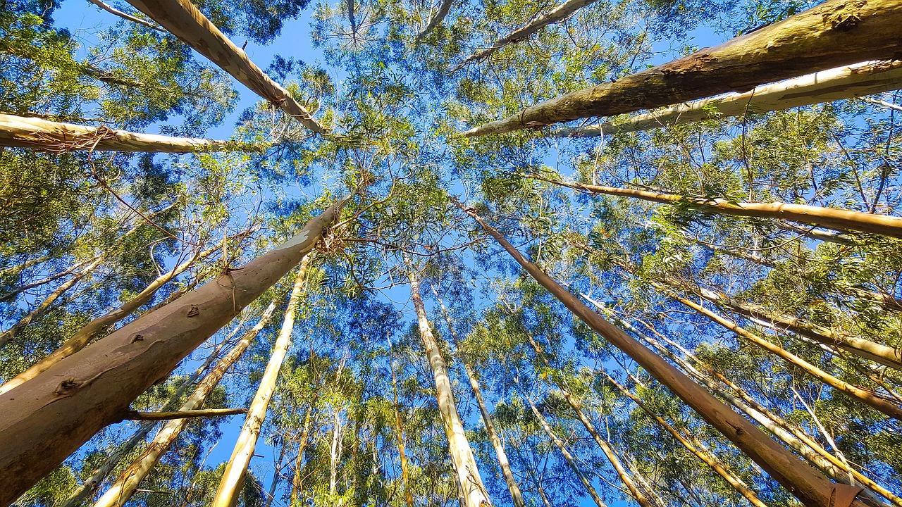 Eucalipto, o campeão absoluto das novas árvores plantadas em Portugal