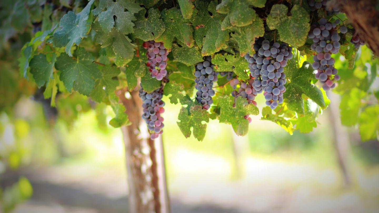 Mau tempo causou prejuízos nas vinhas da Beira Interior
