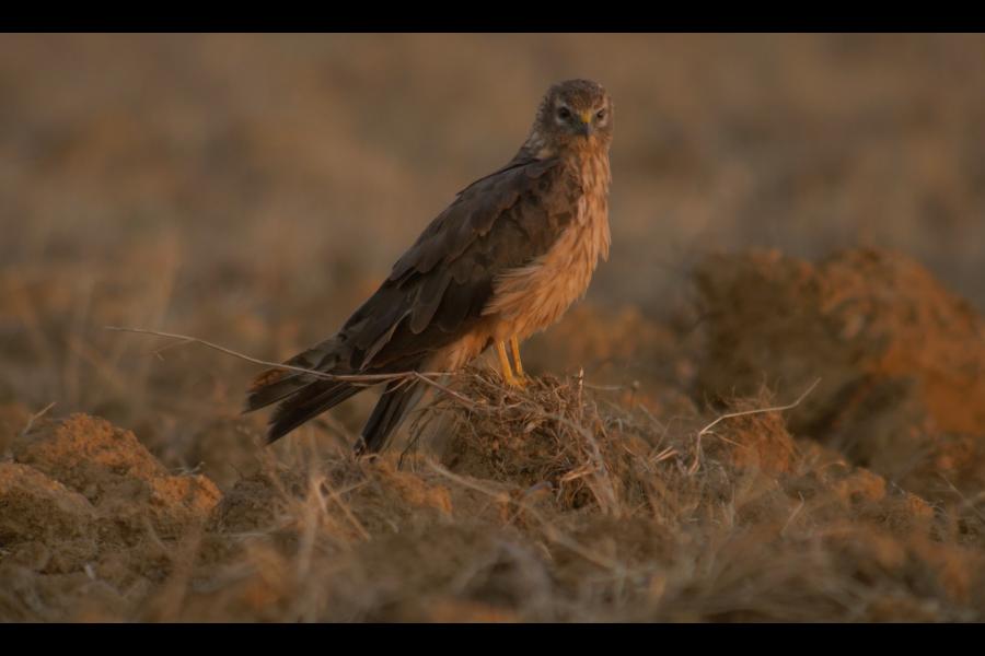 Tartaranhão-caçador: proteção de três ninhos desta rapina em perigo de extinção potencia aumento da sua população
