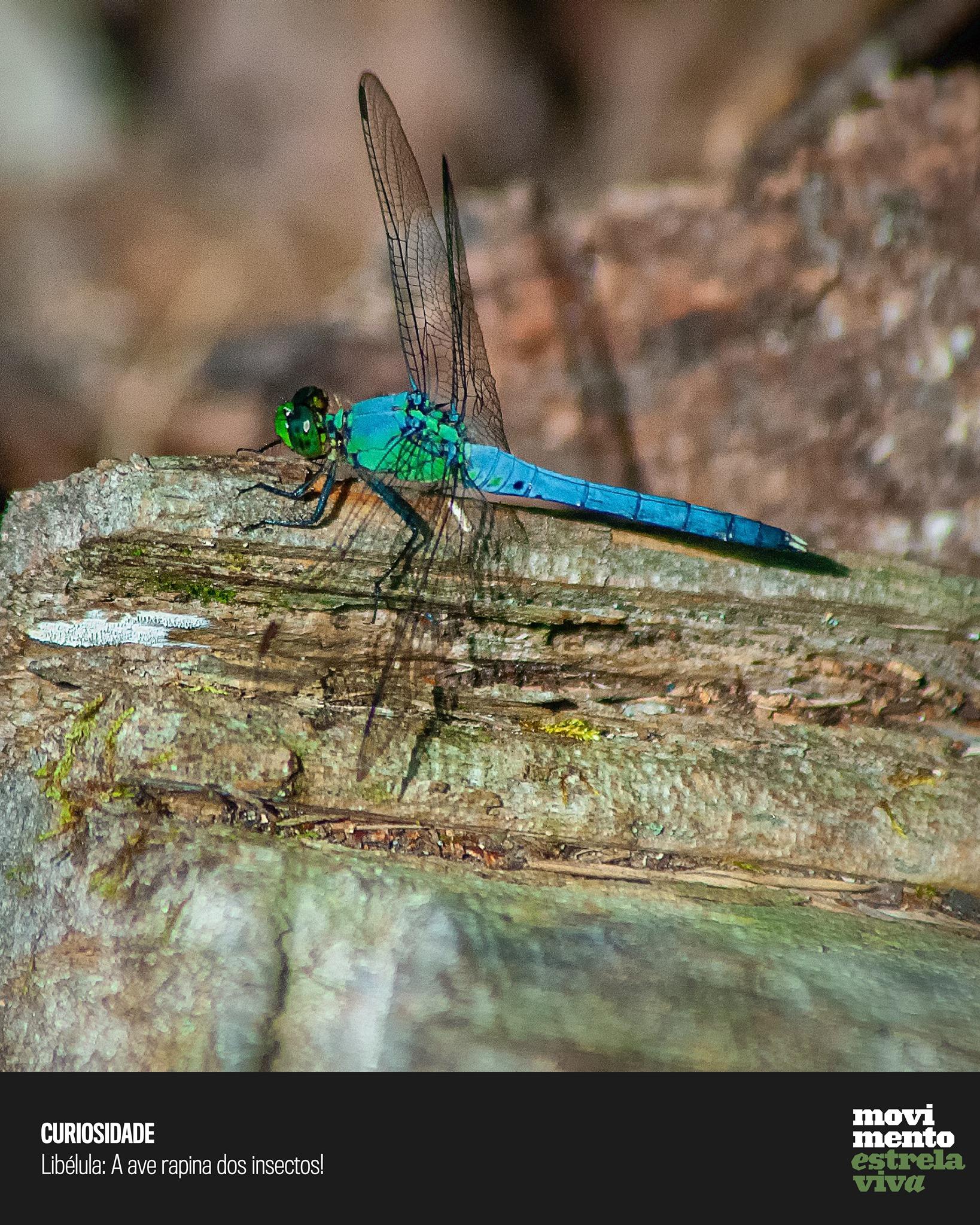 Curiosidade #12 – Libélula: A ave rapina dos insectos!