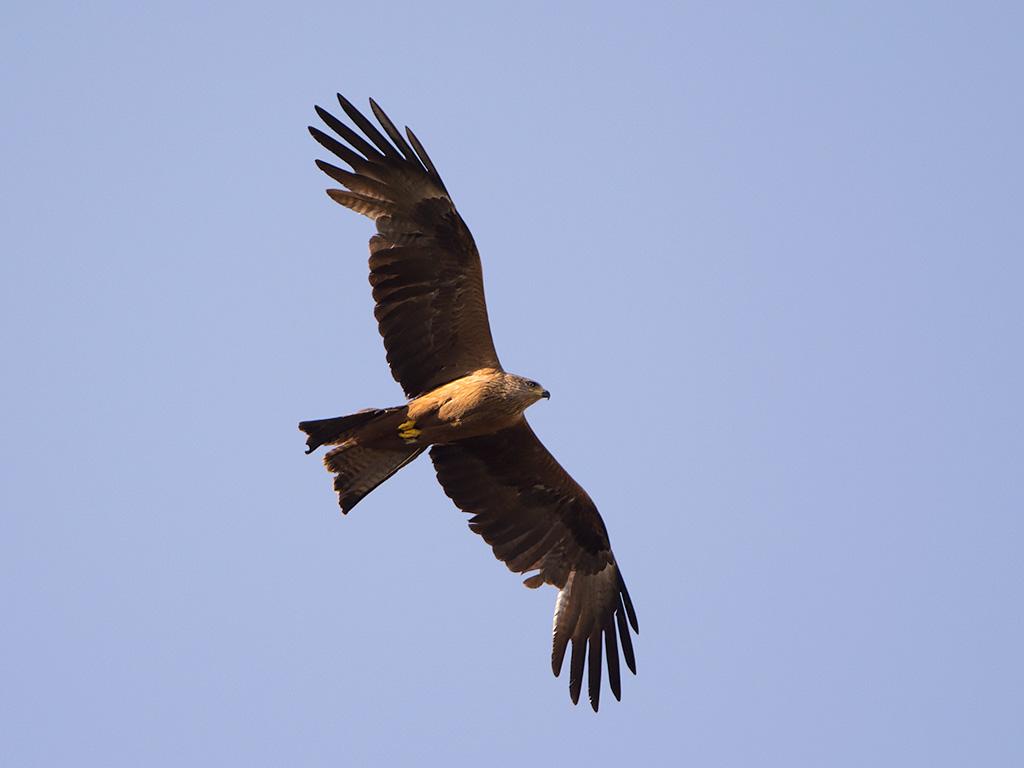 Crias de águia-real: primeiros voos à descoberta do território… uma ode à liberdade