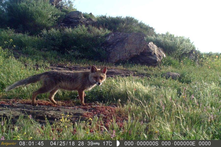 Raposa (Vulpes vulpes) registada através de câmara de fotoarmadilhagem. | palombar.pt