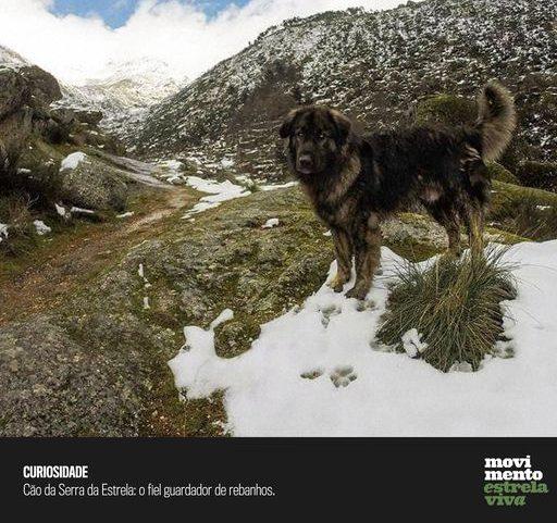 Curiosidade #14 – Cão da Serra da Estrela: o fiel guardador de rebanhos.