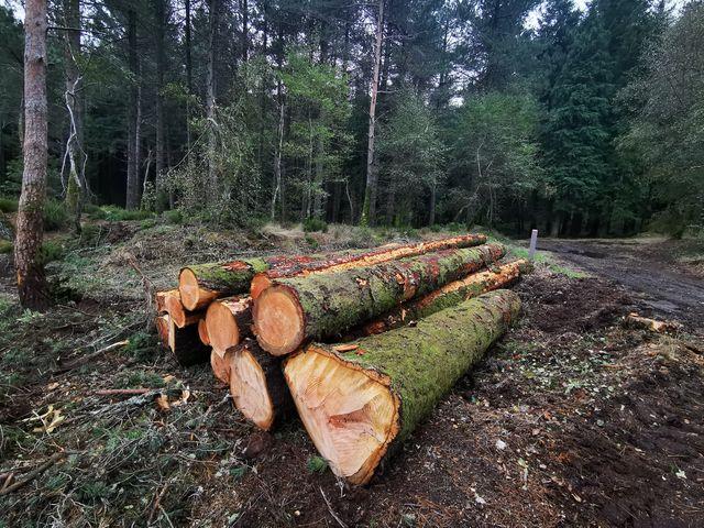 Caramulo: ICNF abate 105 pinheiros bravos no Guardão