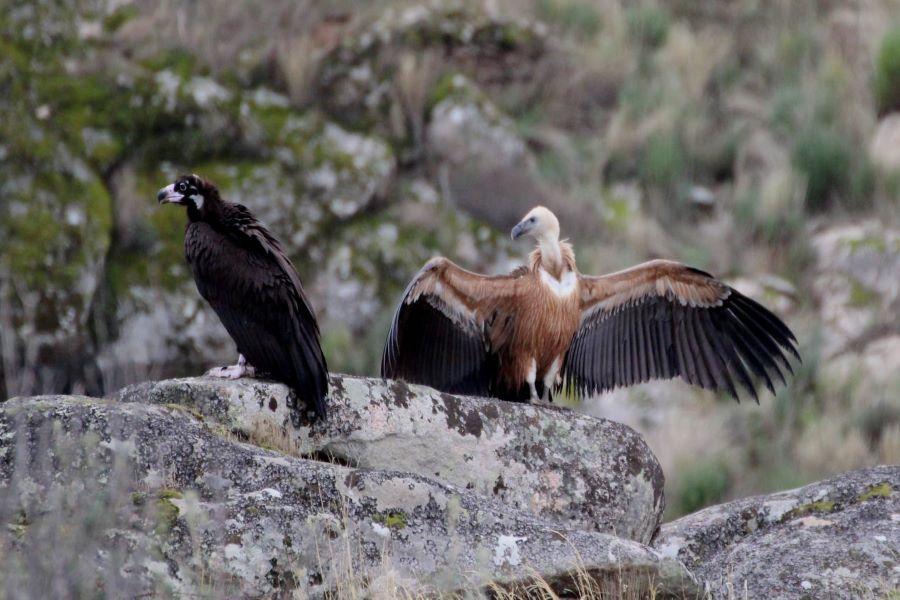 Abutre-preto e grifo devolvidos à natureza no PNDI. Fotografia Departamento de Conservação da Natureza e Florestas do Norte (DCNF-Norte).