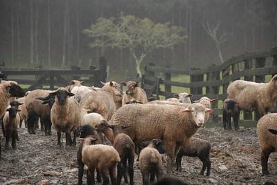 Indemnizações pagas a pastores devido aos ataques de lobos consideradas insuficientes