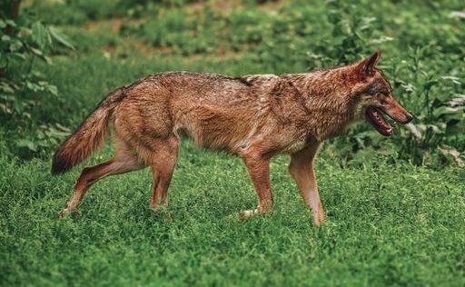 Curiosidade #18 – Lobo ibérico, uma história de resiliência