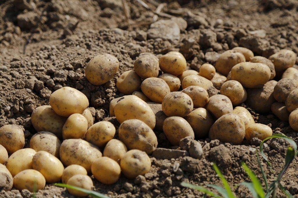 Agricultura/ Batatas