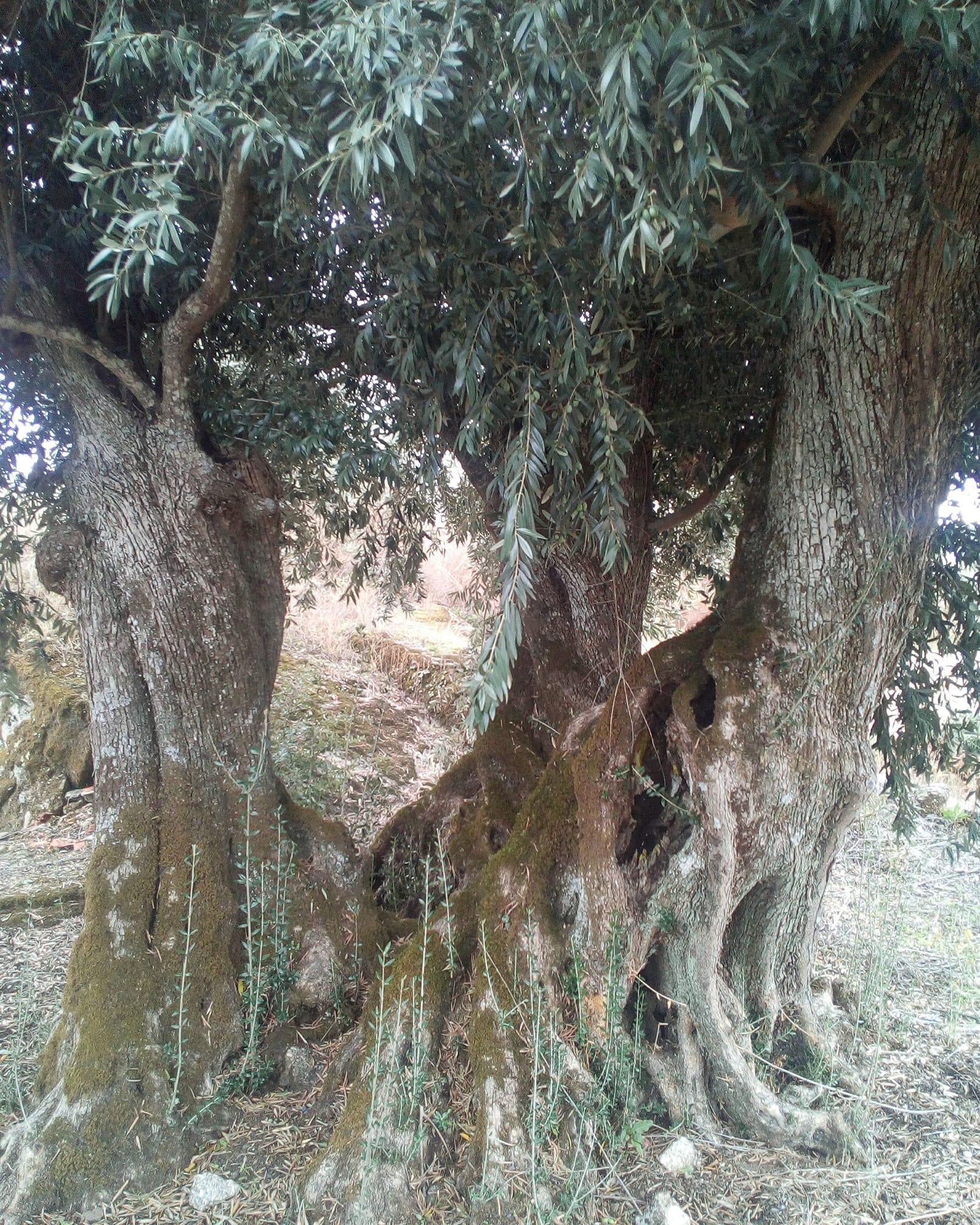 Freguesia de Orca tem oliveira com 2 mil anos