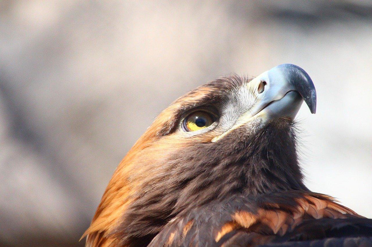 Existem pelo menos 65 casais de águia-real em Portugal
