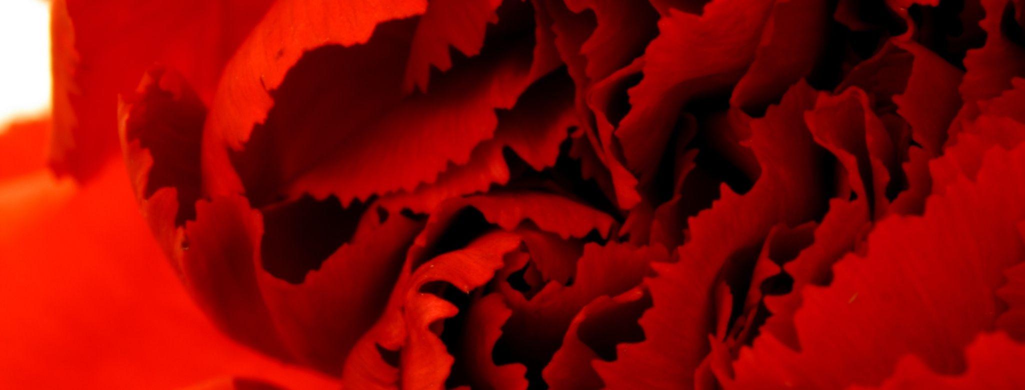 O cheiro de uma flor vermelha