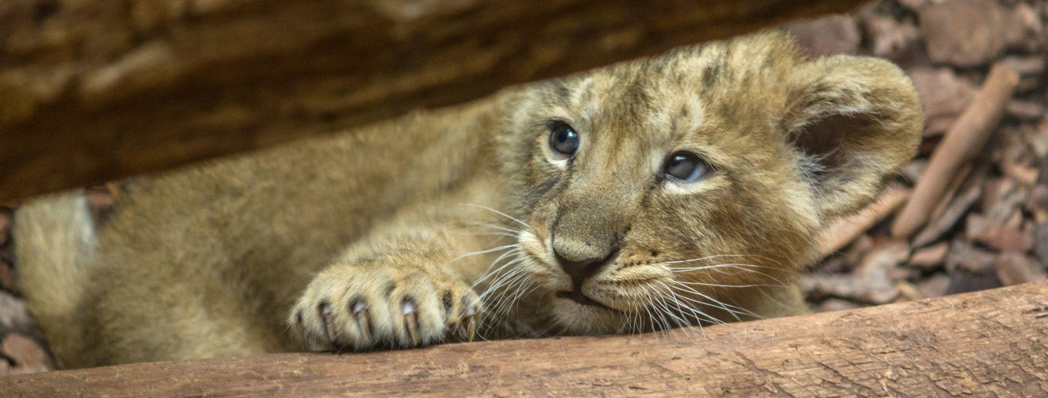 Ô, meu leãozinho!