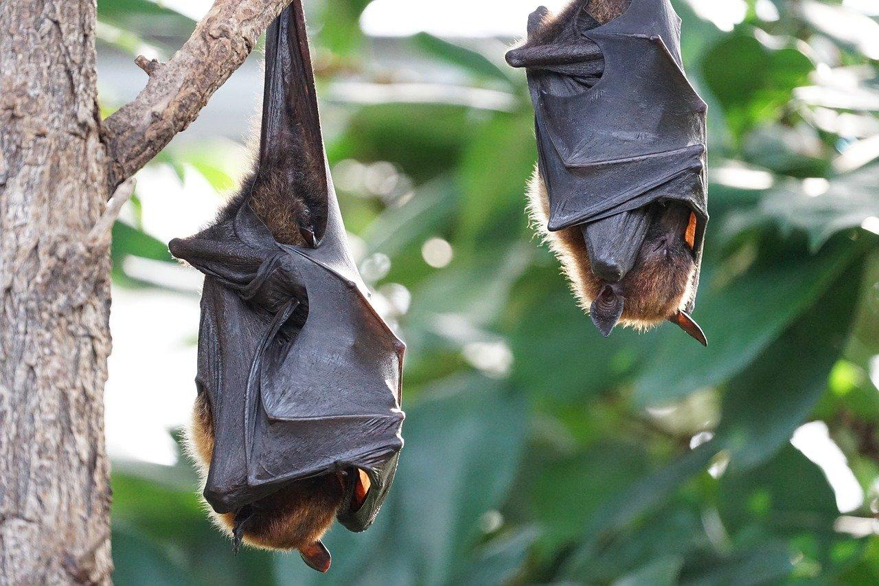 Morcegos são eficazes contra mais de 100 pragas no no Vale do Tua