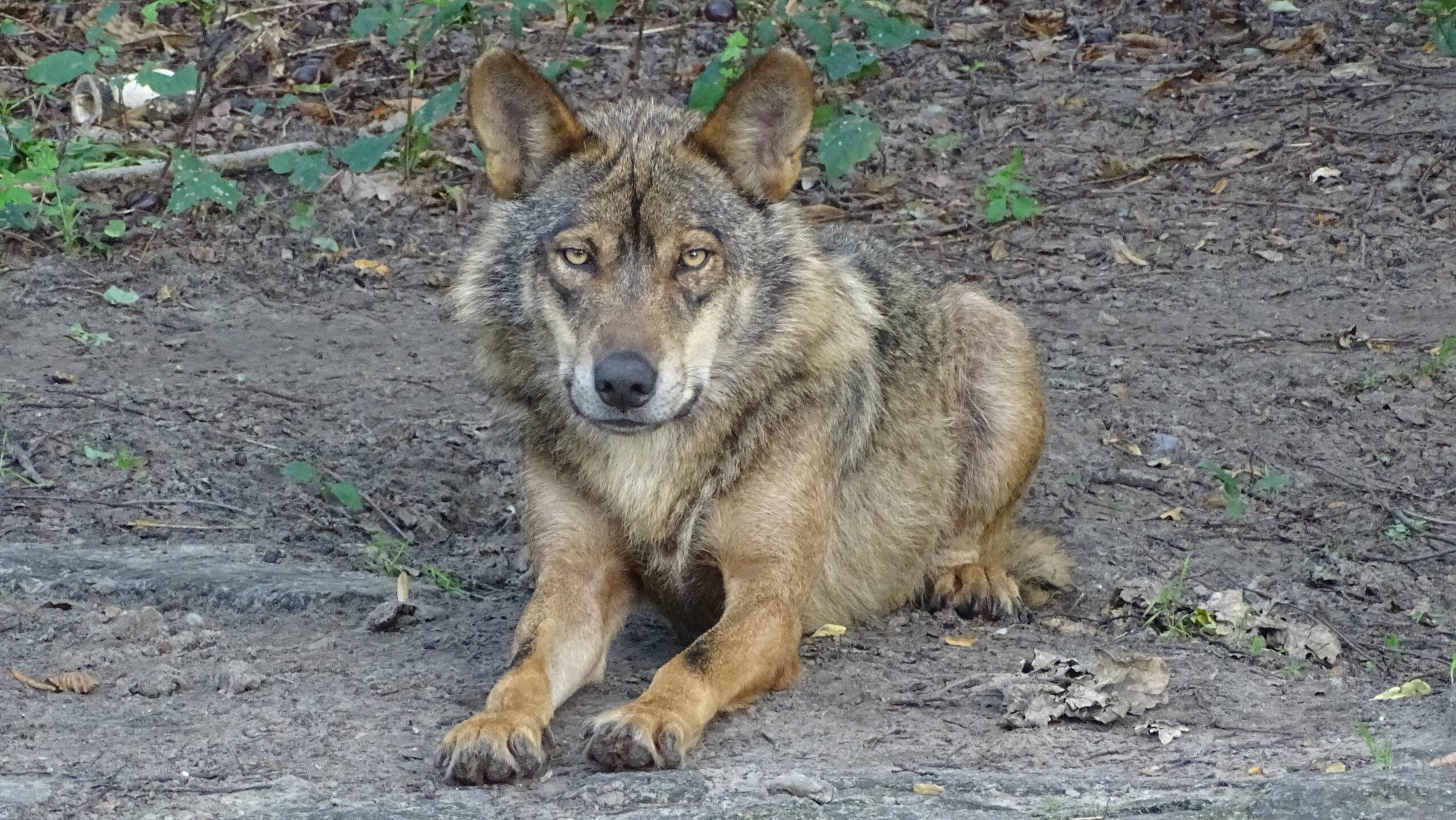 Lobo ibérico volta a ser avistado em Castelo Branco