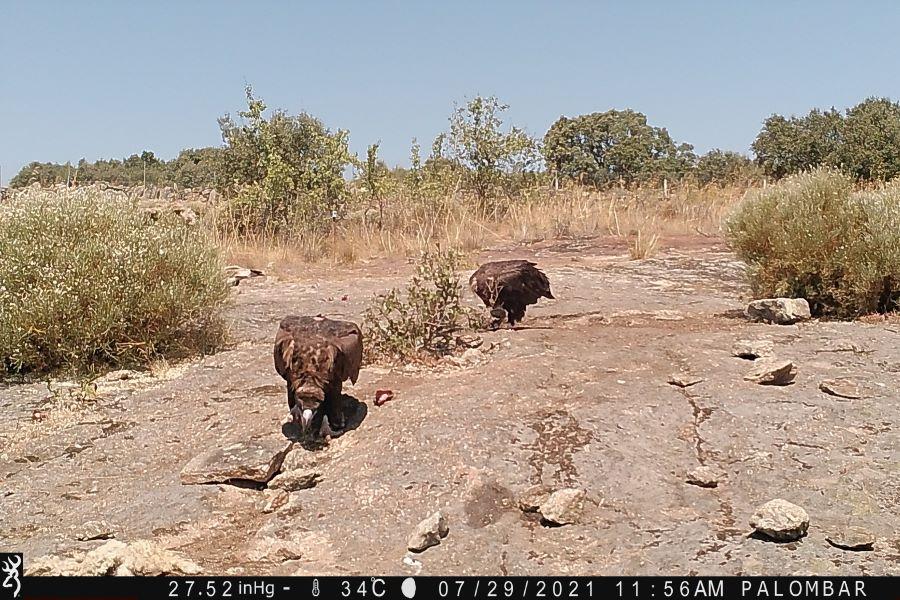 Um dos dois únicos abutres-pretos nascidos em 2020 no Douro Internacional regressa pela primeira vez ao território de origem