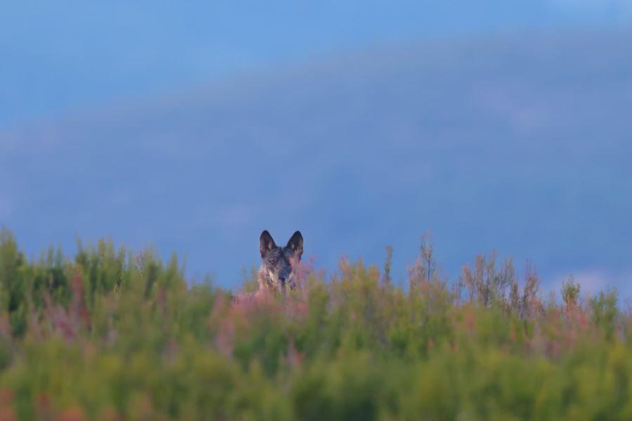13 ONG de Ambiente alertam para impacto negativo que a correção extraordinária da densidade de javalis terá na conservação do lobo-ibérico